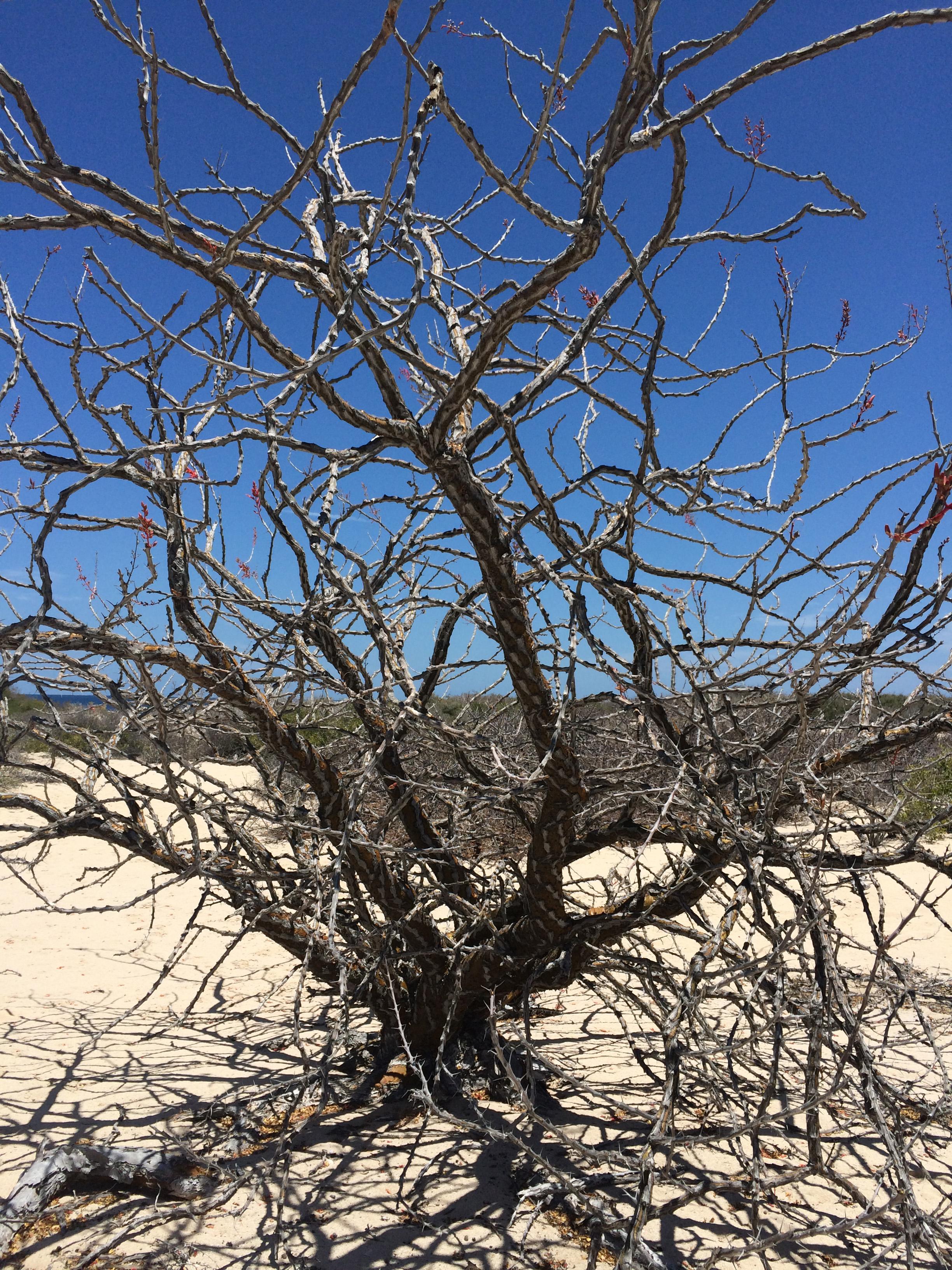 ES Desert Tree