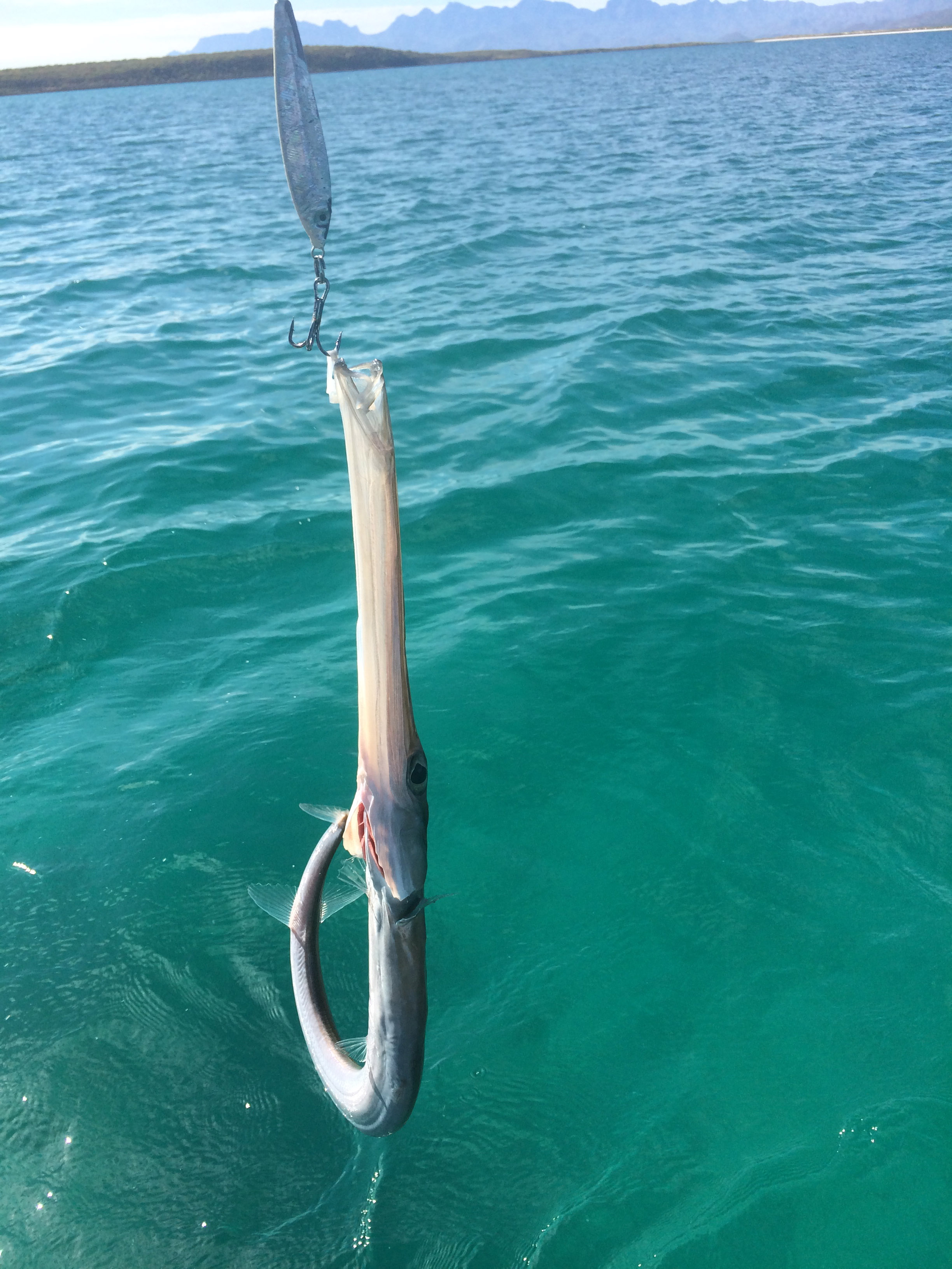 IC trumpet fish